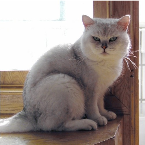 【悻悻喵屋】家养赛级血统 英国短毛猫 纯种蓝猫 乳色