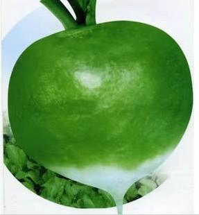 日本芥菜_日本大光头芥菜种子芥菜头芥菜疙瘩蔬菜种子