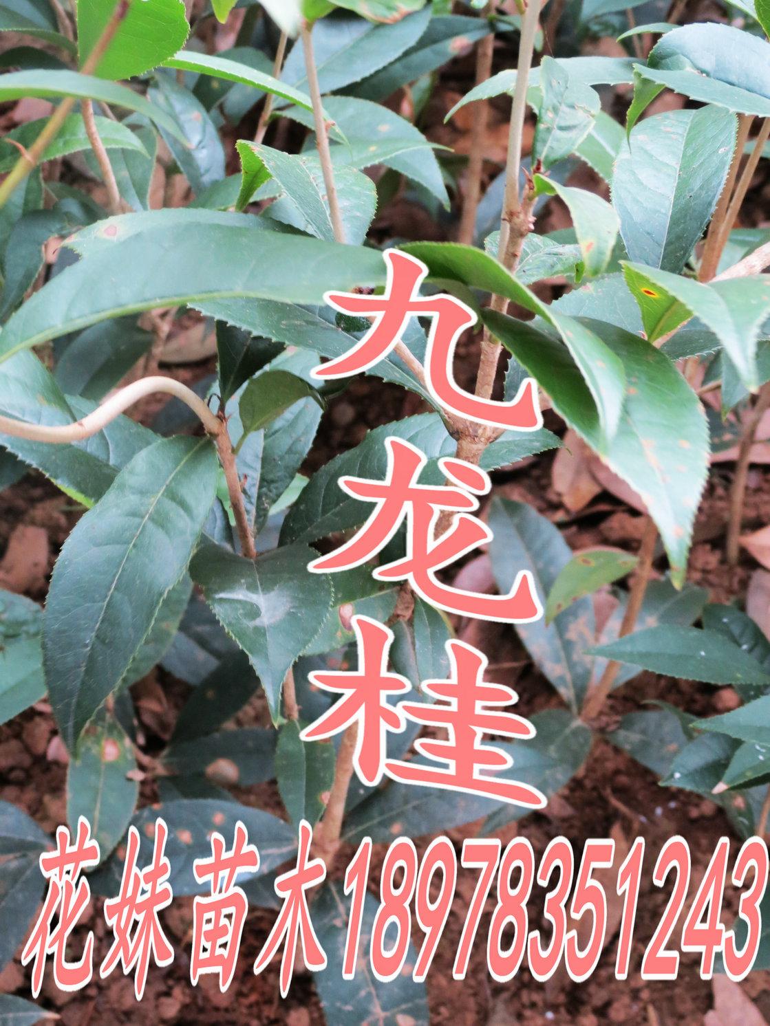 中华九龙桂_huamei3943
