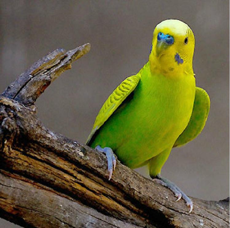【组图】鹦鹉鸟幼鸟,出售葵花鹦鹉幼鸟卖,大绯