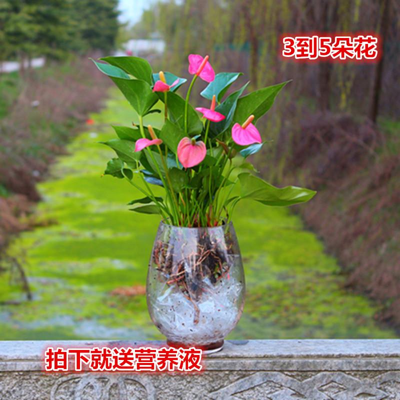 新品绿植 粉掌苗带花 室内盆栽植物 水培红掌绿萝 土培发财树包邮