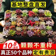 多肉植物套餐萌肉肉组合盆栽含盆带土多肉一箱花卉盆栽