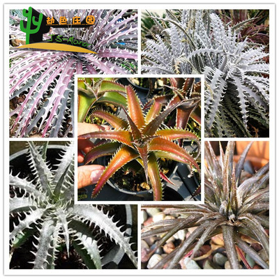 多肉 硬叶凤梨属 Dyckia sp mix 沙漠凤梨 待定品名 混合 种子