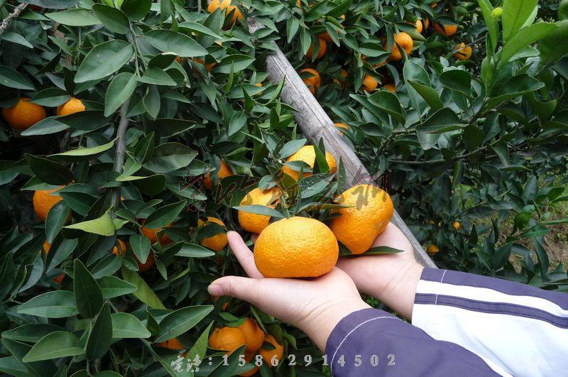 特价销售古老柑桔的优良品种南丰蜜桔 桔子树苗 橘子树苗
