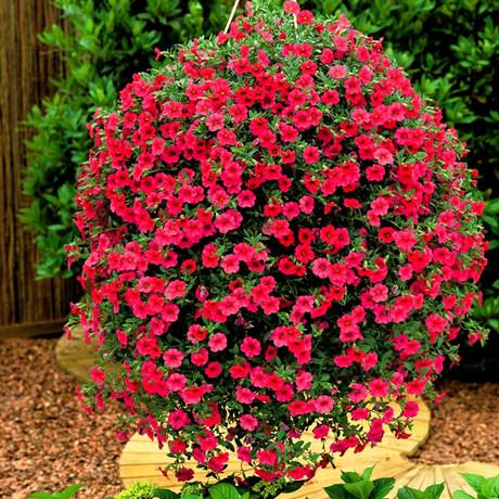 花种子_牵牛花种子重瓣 盆栽阳台花卉种子爬藤 矮牵牛种子单瓣 大花易种