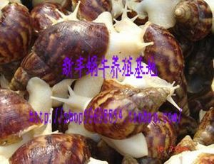 Nutrient-rich white jade snail escargot catty 25 special