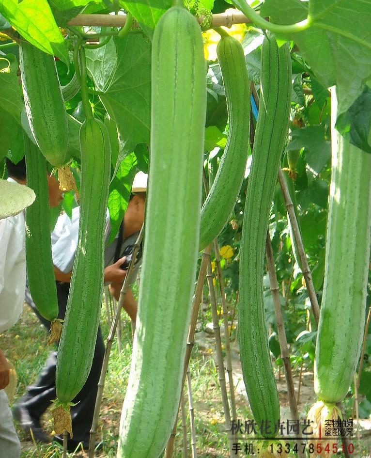 特价 蔬菜种子 早熟香丝瓜种子 翡翠香 庭院种植图片