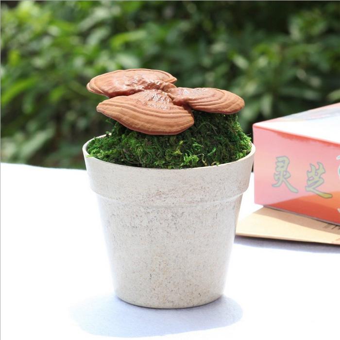 活体灵芝盆景 自己种灵芝 草娃娃趣味防辐射 创意室内植物小盆栽
