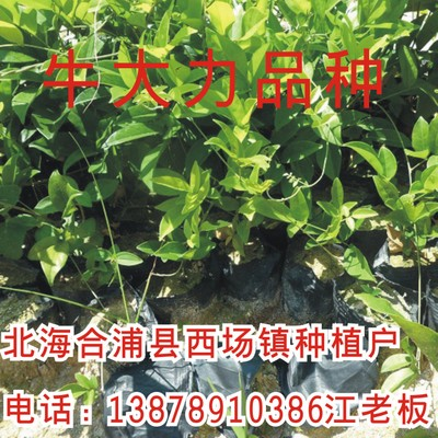 Vigorously cattle cattle seedling seed potato Lobular cattle seedlings wholesale energetically
