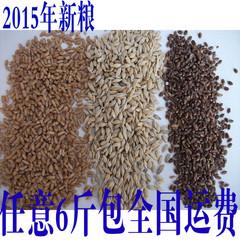 2015年新小麦草种子+大麦草种子+黑小麦草种子 搭配套餐 各500克