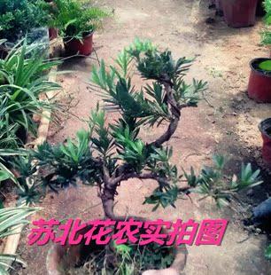 花卉盘景 室内盘栽绿植 罗汉松小叶雀舌罗汉松盆栽树苗 室内盆栽