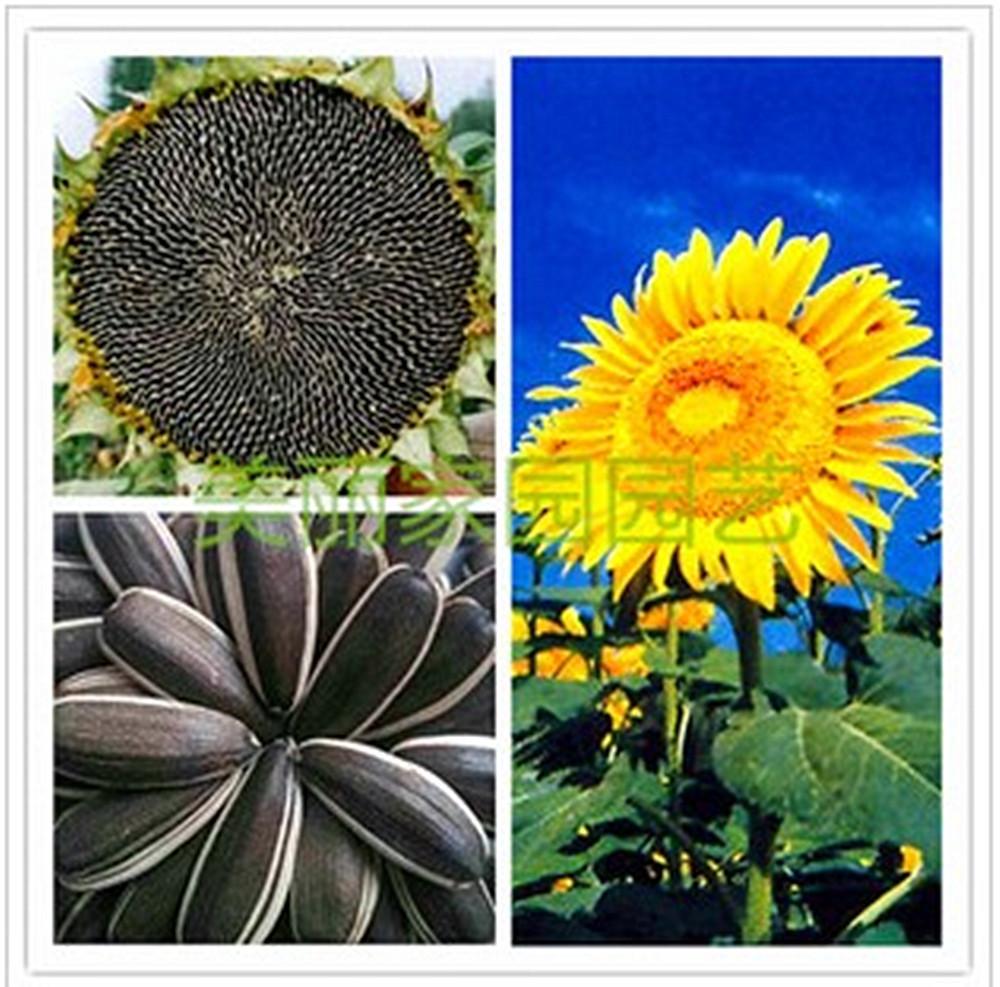 向日葵种子_向日葵种子 油葵大食葵葵花籽瓜子 彩包毛重25克观赏花卉3袋起包