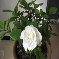 栀子花苗 栀子花 绿化苗 栀子花盆栽 水培 庭院绿化室内阳台