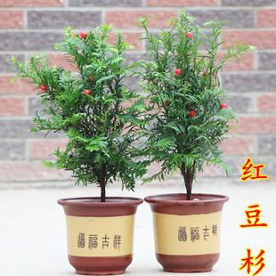 正宗曼地亚红豆杉苗