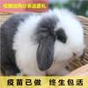 安哥拉垂耳兔活体宠物公主兔长耳折耳兔长不大兔子小型茶杯兔