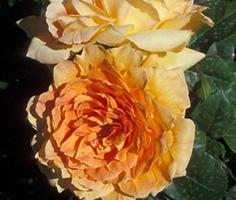 品种月季 - 凝清坊花卉园艺 - 凝清坊花卉园艺