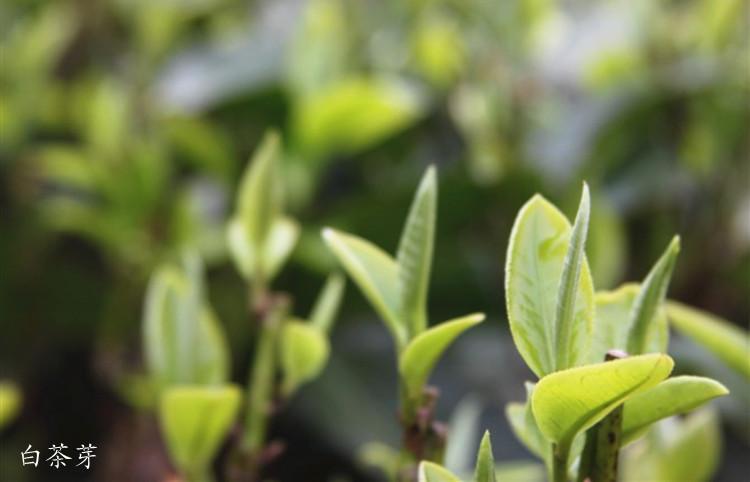 景谷秧塔大白茶芽头普洱茶 - 阎红卫 - 阎红卫经赢之道策划产业联盟